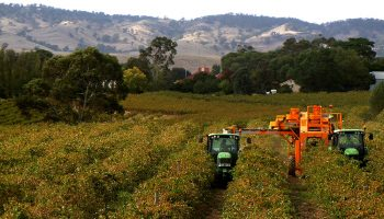 harvesting-grapes-six-gates-winery-barossa-valley