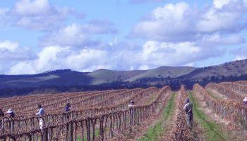 6gates-wines-harvest-season